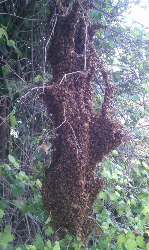 Grim Reaper Swarm collected from Cottonwood Heights in Utah.